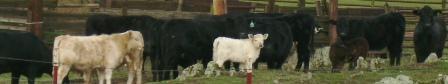 Calaveras County Cows