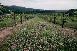 Roseclover vineyard sized