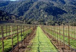 Zorro fescue cover crop in vineyard
