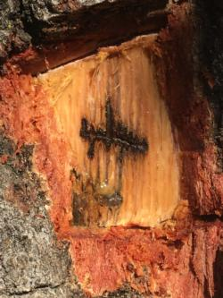 Outer bark exposed to show the gallery pattern of western oak bark beetle. Photo by Scott Oneto, UC Regents